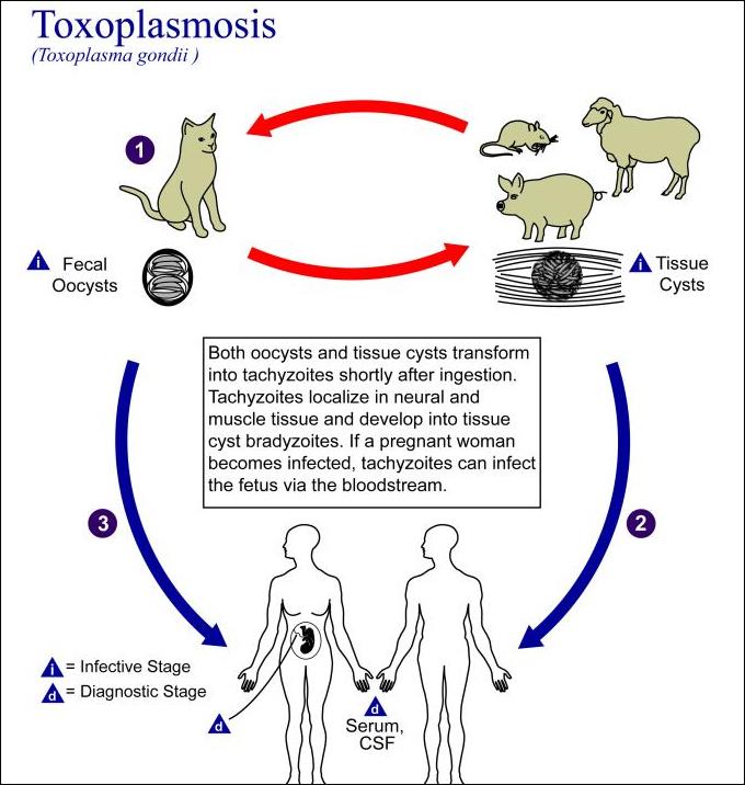 Cat Toxoplasmosis In Humans